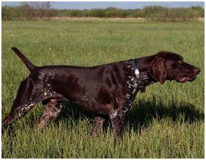 Немецкие охотничьи собаки