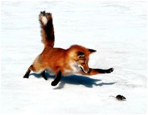 Лучшая приманка для лисы