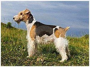 Собаки породы фокстерьер