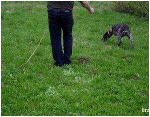 Натаска по кровяному следу: знакомство с животным и запахом кровяного следа