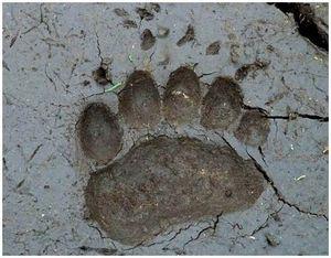 Следы жизнедеятельности бурого медведя
