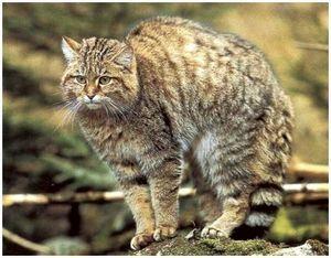Лесной кот: описание, места обитания и охота на него