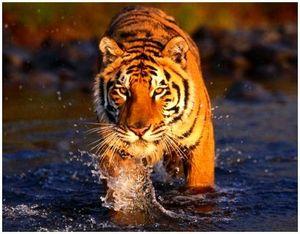 Как охотится Амурский тигр и места его обитания