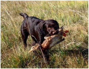 Правильная хватка и подача дичи собакой