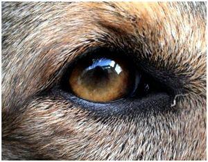Травмы глаз у собаки и первая помощь при травмах