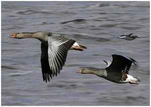 Охота на гуся в Астраханской области