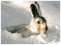 Охота на зайца с подхода по снегу