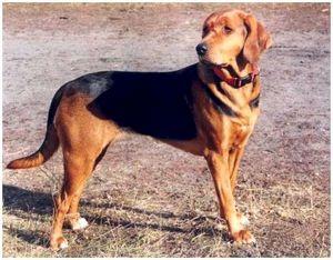 Польская гончая собака
