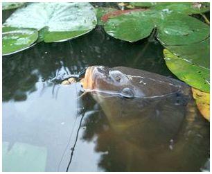 Клев рыбы