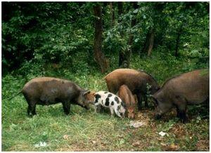 Охота на дикого кабана: прикормки