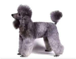 Пудель охотничья собака