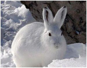 Где и когда искать зайца-беляка?