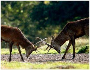 Охота на оленей на солонцах