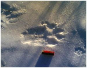 Как определить свежесть волчьих следов?