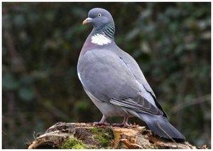 Крупный, дикий голубь вяхирь