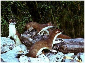 Места обитания и следы жизнедеятельности горностая