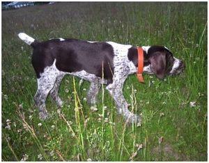 Обучение легавой собаки анонсированию о нахождении крупной дичи