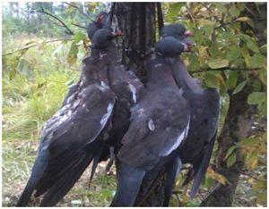 Охота на дикого голубя