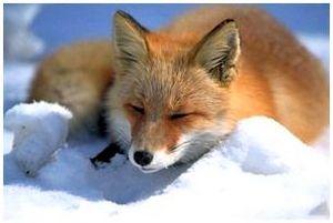 Рыжая лисица: описание животного