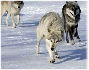 Применение приманок при ловле волка на капкан