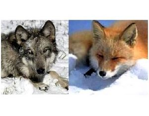 Лёжки и логовища волков и лисиц