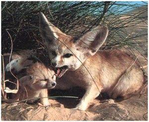 Пустынная лисица фенек