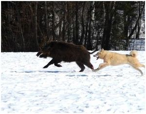 Охота на кабана с лайкой