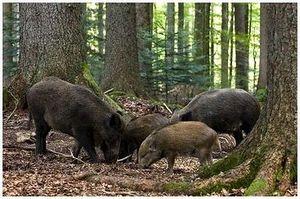 Как приманить диких лесных кабанов