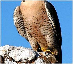 Ловчие птицы: сокол-сапсан