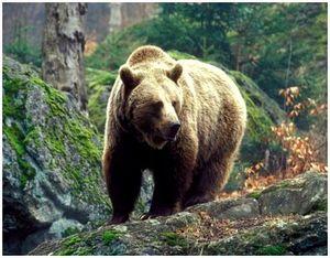 Охота на бурого медведя на болотах