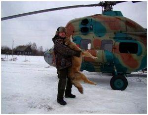 Охота на волков с вертолета