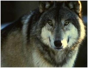 Охота на волка подкарауливанием у привады