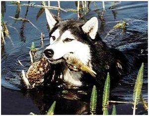 Натаска и охота с лайкой по водоплавающей дичи