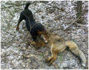 Охота на лисицу с норными собаками