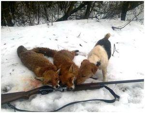 Охота с фокстерьером на лис