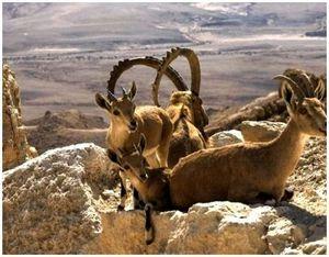 Как правильно охотиться на диких коз?