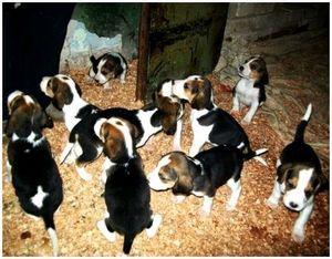 Выбор щенка гончей для охоты