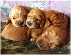 Понятие чистопордности и чистокровности охотничьей собаки