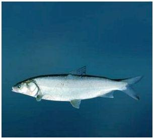 Рыба Белорыбица