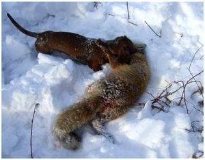 Охота на лис с таксой