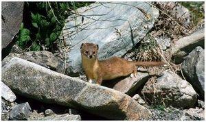 Солонгой: описание вида и охота на него