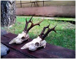 Первичная обработка некоторых трофеев копытных животных (помимо кабана)