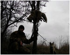 Подготовка собак к охоте на лис