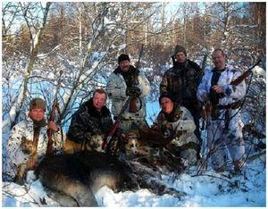 Сослеживание и обкладывание лося при групповой охоте