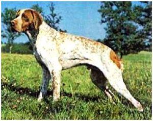 Собака французская легавая