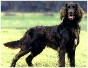 Немецкая длинношерстная легавая собака