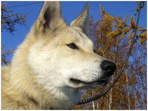 Хорошая охотничья собака лайка