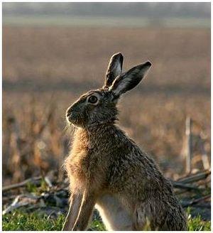 Тропление зайца русака