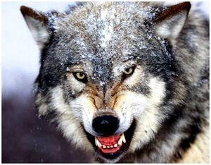 Охота с борзыми на волка