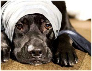 Клещевой пироплазмоз у охотничьих собак